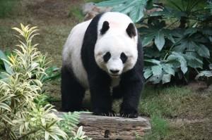 Giant Panda at Ocean Park Hong Kong. Photo by J. Patrick Fischer